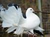 Påfågelduva