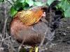 Rostbrun Welsumerhöna
