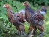 Brahma; guld blåbandade tuppkycklingar (en ljus & en mörk)