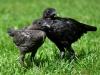 MESkycklingar i blå och svart guldbröstat