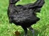MESkyckling -  svart guldbröstad