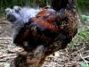 Brahma   guld svartbandade tuppkycklingar